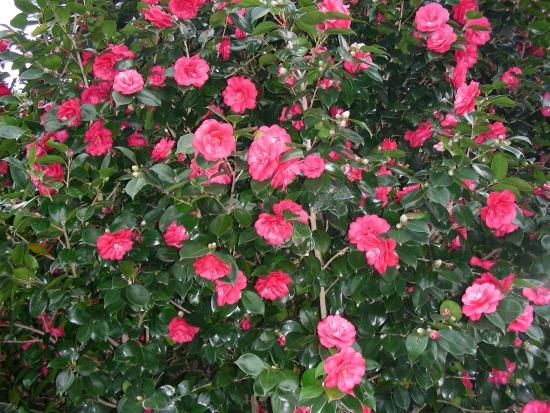 Посмотрите на фото: растение очень похоже на розовый куст