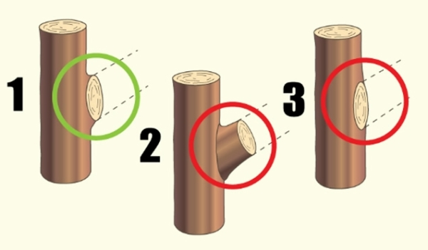 Правильное (1) и неправильное (2, 3) удаление бокового побега «на кольцо»