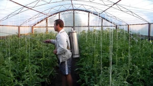 При опрыскивании растений в зимней теплице рекомендуется применять аккумуляторное оборудование
