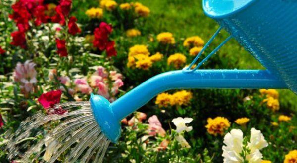 При поливе посаженного «новобранца» не используйте шланг с сильным напором воды, на первых порах придется вооружиться садовой лейкой