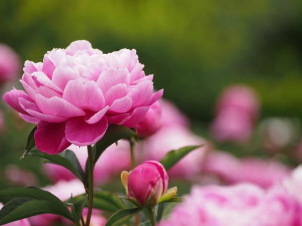 При правильной посадке и качественном уходе пион будет украшать ваш сад изысканными ароматными бутонами каждый год