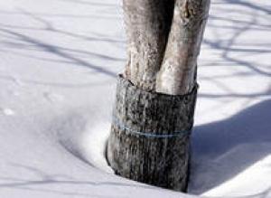 Пример защиты культур от вымерзания