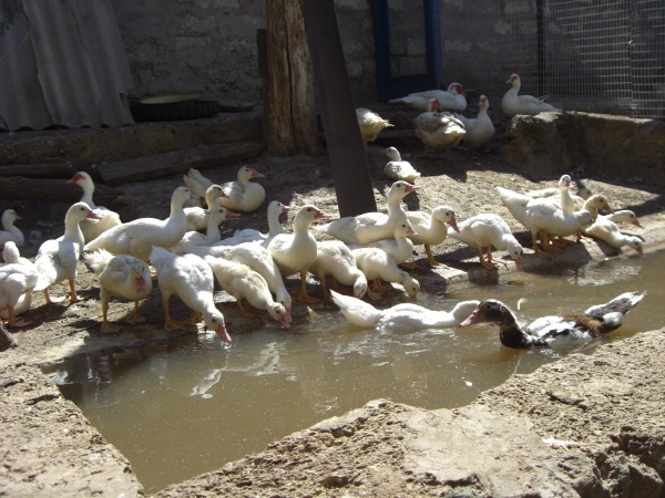 Пруд для уток и гусей