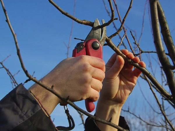Работы в саду и огороде в марте не обходятся без обрезки растений