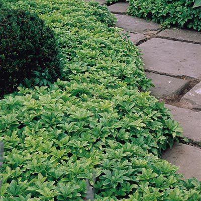 Растение под названием пахизандра сделает участок аккуратным, свежим, заполненным расслабляющим зеленым цветом