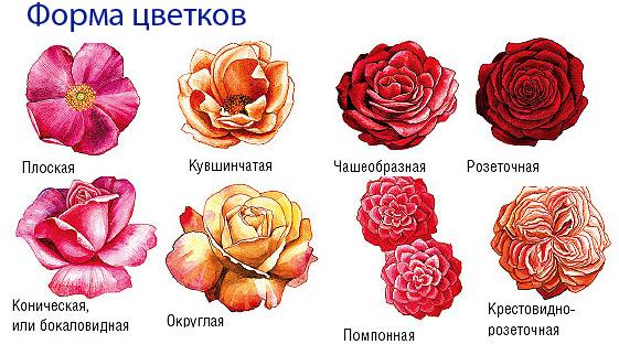 Разнообразие формы цветка и лепестков.