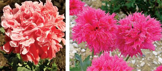 Разнообразие видов позволяет украсить сад необычными цветами