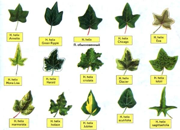 Разновидности листьев обыкновенного садового плюща