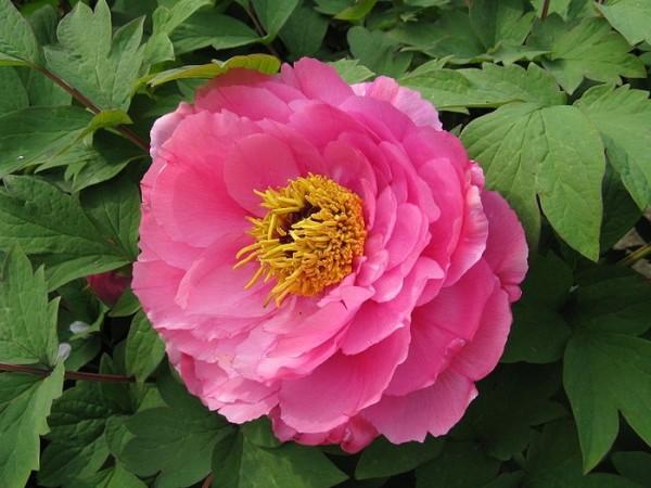 Роскошные пионы ценятся за прелестные цветы и относительную неприхотливость