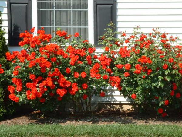 Розы по-настоящему украсят территорию