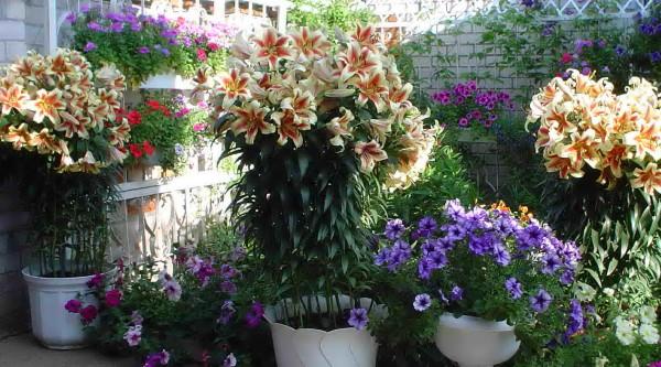С уверенность можно сказать, что красивые сады и цветники не могут существовать без лилий