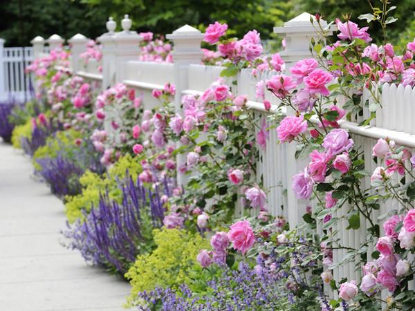 Сад из роз требует и полива, и минеральной подкормки