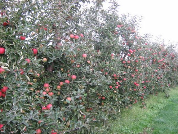 Сад в период плодоношения