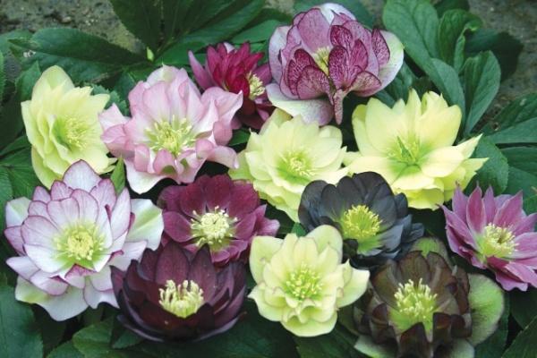 Садовые цветы - морозники