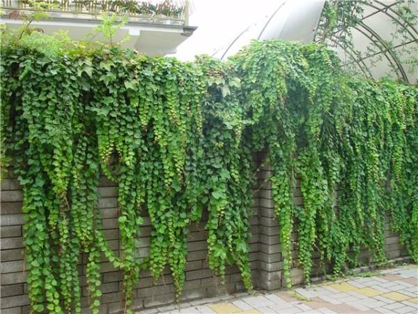 Садовый плющ – «классический» вариант плетущихся растений