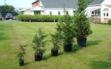 Саженцы молодых деревьев.