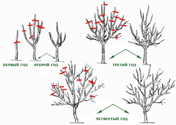 Схема формирования кроны у яблони