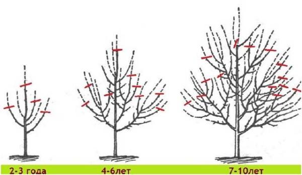 Схема обрезки в соответствии с возрастом дерева