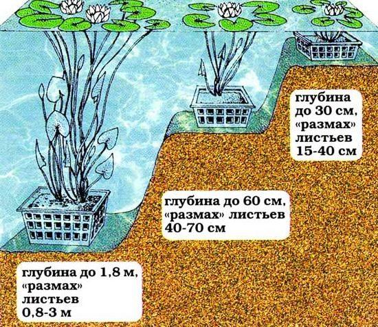 Схема посадки растений в пруд
