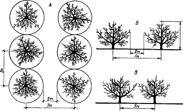Схема сильнорослого, плотной посадки сада: а – вид крон сверху, б – междурядье, в – между стволами.