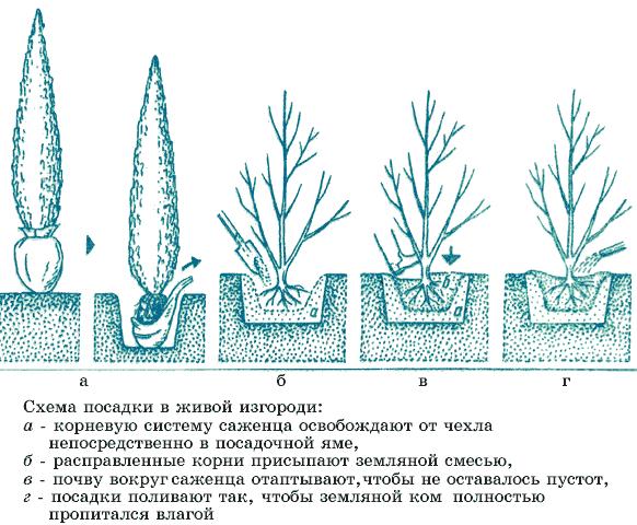 Схема создания изгороди из елей