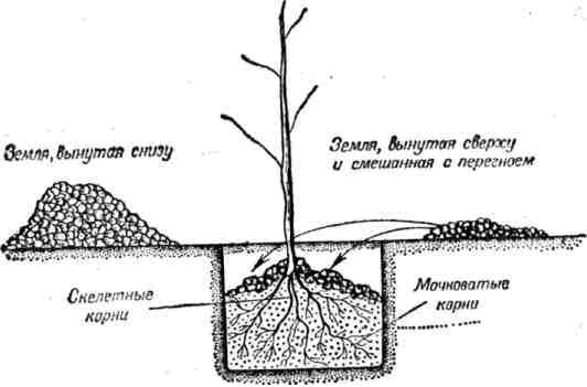 Схемы расположения посадочного материала в лунке