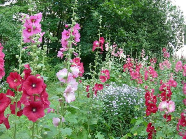 Шток-роза – одно из любимейших растений всех садоводов