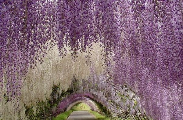 Сказочный тоннель из глицинии (Япония)