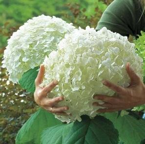 Соблюдая все рекомендации, вы своими руками сможете вырастить потрясающе красивое растение в своем саду