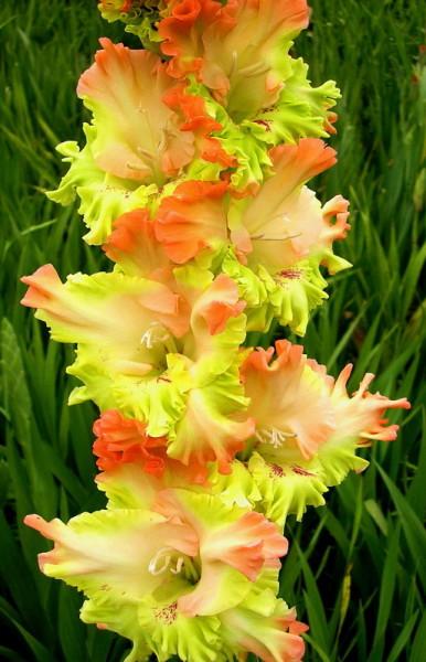 Согласитесь, весьма необычный садовый житель, на фото гладиолус сорт «Перо павлина»