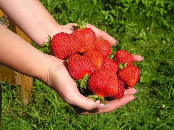 Современные сорта садовой земляники позволяют получать хороший урожай с минимальной площади