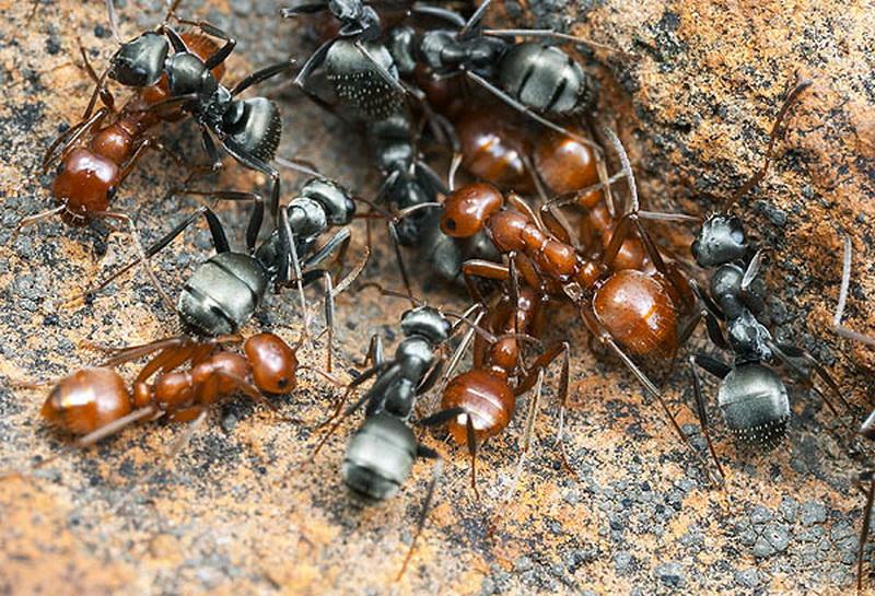 Сражения у муравьёв не менее жестоки, чем у людей