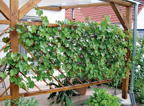 Столовые сорта винограда в декоре беседки