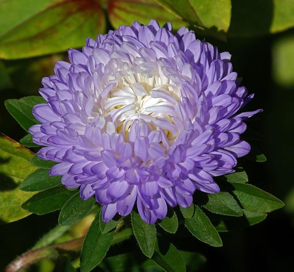Цветок каллистефауса