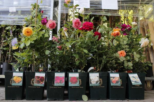 Цветоводы предпочитают посадочный материал в контейнерах.