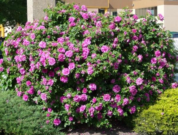 Цветы улучшенной группы ругоза Ханса (Hansa) напоят воздух изумительным ароматом во дворе и в саду.