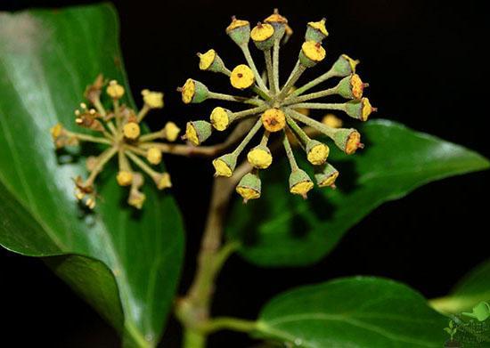 Цветы вьющегося растения обладают «сдержанной» внешностью, но зато прекрасно справляются с привлечением различных насекомых, включая пчёл