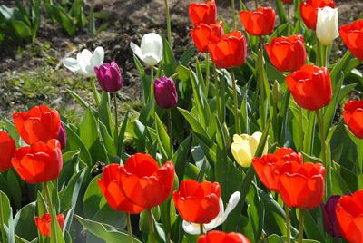 Тюльпаны распускаются ранней весной, это одни из самых первых цветов
