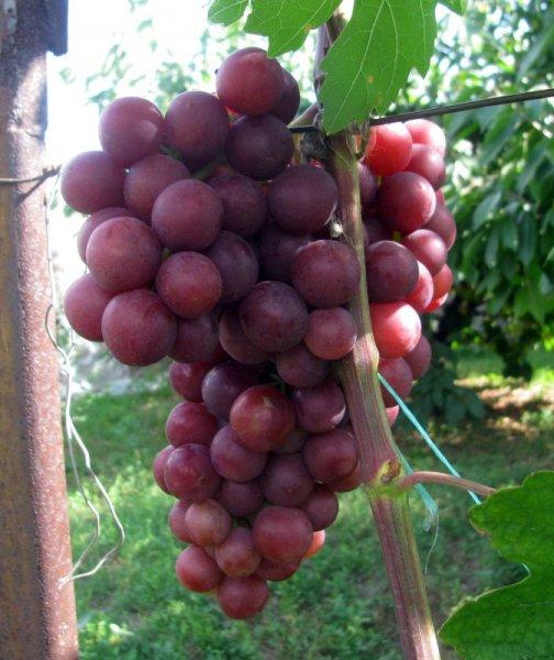 Упругий и морозостойкий виноград «Нина»