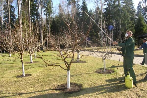 Весеннее опрыскивание помогает бороться с зимующими вредителями