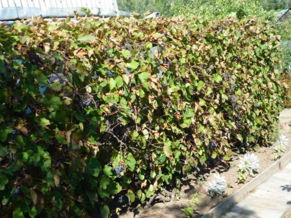 Виноград любит солнце и влагу