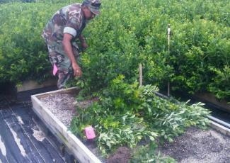 Выращивание садовой черники на специально подготовленном участке