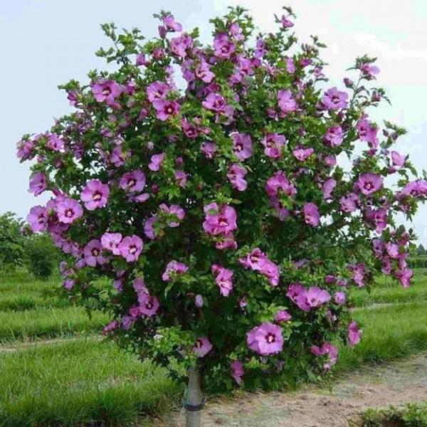 Высадив это растение, вы значительно украсите свой сад