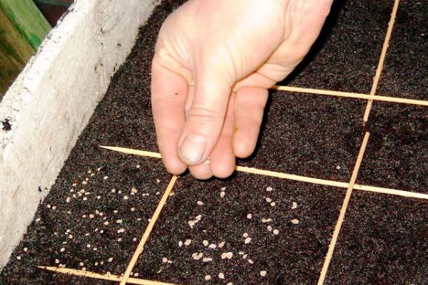 Высадка семян для получения рассады
