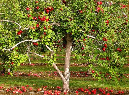 Яблони – самые распространенные фруктовые деревья для сада
