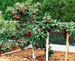 Яблони на карликовом подвое не займут много места и будут радовать вас обильным урожаем