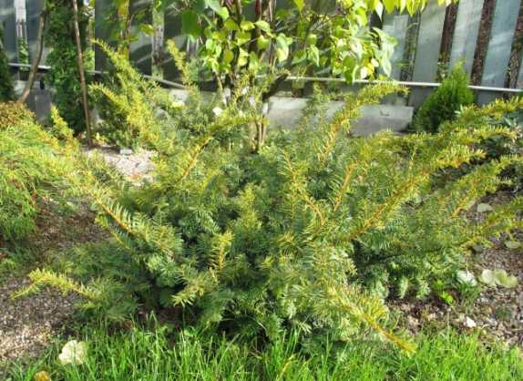 Ягодный тист – вечнозеленый кустарник