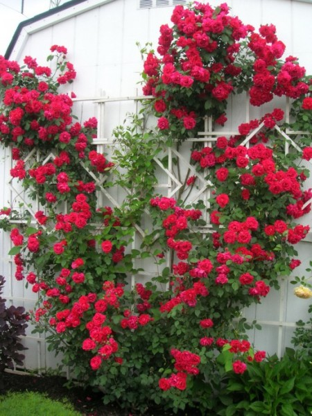 Яркий букет из плетей роз