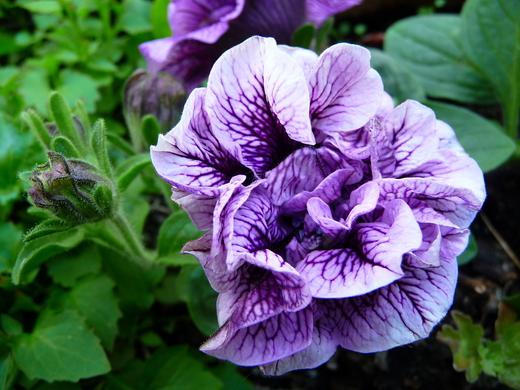 За увеличение размеров цветка петунии заплатили снижением стойкости к болезням