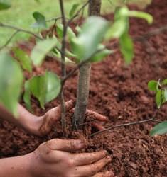 Заботливо посаженный своими руками саженец вырастет и будет плодоносить долгие годы